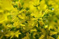Geel bloemmos Stock Fotografie