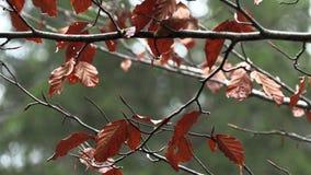 Geel boomgebladerte met dauwdalingen, langzame motie stock footage