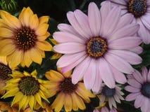 Geel Bornholms Daisy (Osteospermium) Royalty-vrije Stock Afbeeldingen