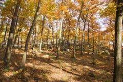 Geel bos Stock Afbeelding