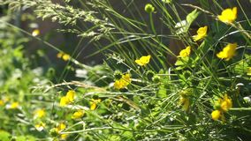 Geel boterbloemen en gras die in de wind golven stock videobeelden