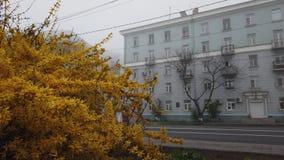 Geel Bush buiten Vladivostok, Rusland stock videobeelden