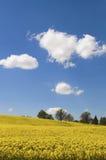 Geel canolagebied in de zon met blauwe hemel en wolken Stock Foto