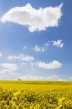 Geel canolagebied in de zon met blauwe hemel en wolken als oog-vanger Stock Foto's