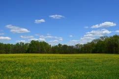 Geel canolagebied die met blauwe hemel en witte wolken bloeien stock afbeeldingen