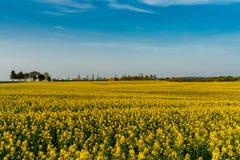 Geel canolagebied op usedom royalty-vrije stock afbeelding