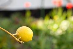 Geel citroenfruit in de lente Stock Foto
