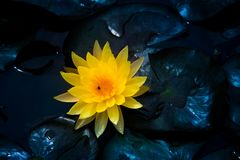 Geel close-up van het bloeien waterlily of lotusbloembloem Royalty-vrije Stock Afbeelding