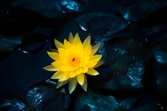 Geel close-up van het bloeien waterlily of lotusbloembloem Stock Foto's