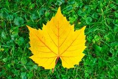 Geel dalingsblad met rode aders die op vers groen gras liggen Stock Foto's