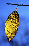 Geel dalingsblad in ochtend backlight cades inham royalty-vrije stock afbeelding