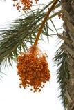 Geel datumfruit op falmboom Royalty-vrije Stock Afbeeldingen