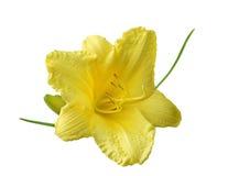 Geel daylily Stock Afbeeldingen