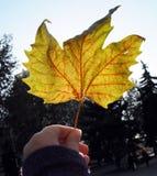Geel de herfst gevallen blad in een vrouwelijke hand tegen de hemel Stock Afbeeldingen