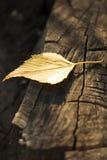 Geel de Herfstblad op oude donkere boomboomstam Royalty-vrije Stock Afbeelding