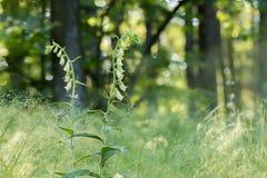 Geel Digitalisvingerhoedskruid grandiflora in het de lentebos Stock Afbeelding