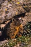 Geel-doen zwellen Marmot Stock Foto