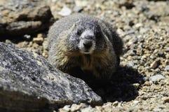 Geel-doen zwellen marmot Stock Afbeeldingen