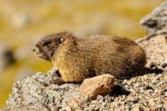 Geel-doen zwellen Marmot Royalty-vrije Stock Foto
