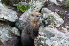 Geel-doen zwellen Marmot Royalty-vrije Stock Afbeelding