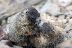 Geel-doen zwellen Marmot, flaviventris Marmota Royalty-vrije Stock Foto's