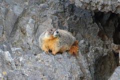 Geel-doen zwellen marmot (flaviventris Marmota) Stock Foto