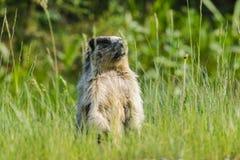 Geel-doen zwellen marmot (flaviventris Marmota) Stock Foto's