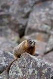 Geel-doen zwellen marmot in yellowstone Royalty-vrije Stock Foto