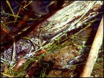 Geel-doen zwellen pad Stock Afbeelding