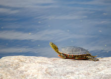 Geel-doen zwellen schuifschildpad die zonnen op rots Royalty-vrije Stock Foto's