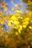 Geel doorbladert Stock Afbeelding
