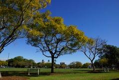 Geel doorbladert op jacarandaboom Royalty-vrije Stock Afbeelding