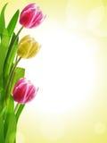 Geel en de roze achtergrond van de tulp Stock Foto