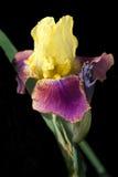 Geel en Gebaarde Iris Fuschia op Zwarte Stock Fotografie