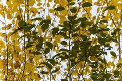 Geel en Groen De herfstbladeren op esp en els Royalty-vrije Stock Foto
