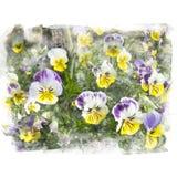 Geel en purper bloesemviooltje Stock Afbeeldingen