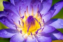 Geel en Purper lotusbloemstuifmeel stock afbeeldingen