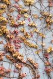 Geel en rood klimopblad op de muur Royalty-vrije Stock Afbeeldingen