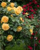 Geel en rood nam struiken met vele bloemen toe Stock Foto's