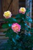 Geel en roze rozen Stock Foto's