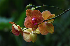 Geel en Violet Orchid Flower in Botanische Tuin, Tsjechische Republiek, Europa Royalty-vrije Stock Afbeeldingen