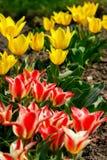 Geel en wit nam de lampekapbloem van het tulpenglas toe royalty-vrije stock afbeeldingen