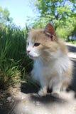 Geel-en-witte kat op zoek naar zijn gunst stock afbeeldingen