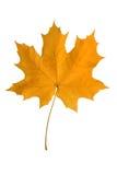 Geel esdoornblad. Royalty-vrije Stock Afbeeldingen