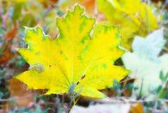 Geel esdoornblad die aan grond, achtergrond vallen in de herfstkleuren Royalty-vrije Stock Afbeeldingen