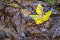 Geel esdoornblad onder bruine bladeren Stock Foto's