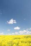 Geel gebied en blauwe hemel. De lente. Stock Afbeeldingen