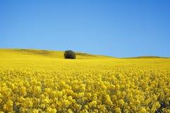 Geel gebied met oliehoudend zaadverkrachting in de vroege lente Stock Foto