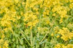 Geel gebied tijdens raapzaadbloei begin Mei, bij het bestuiven bloemen royalty-vrije stock fotografie