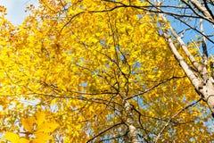 Geel gebladerte en blauw hemel achtergronddalingsseizoen Royalty-vrije Stock Afbeeldingen